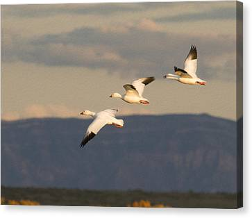 Soaring Geese Canvas Print by Jean Noren