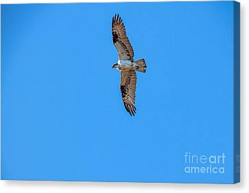 Soaring Osprey Canvas Print