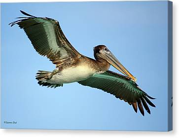 Canvas Print featuring the photograph Soaring Pelican by Suzanne Stout