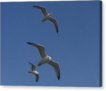 Soaring Seagulls Canvas Print by Noreen HaCohen