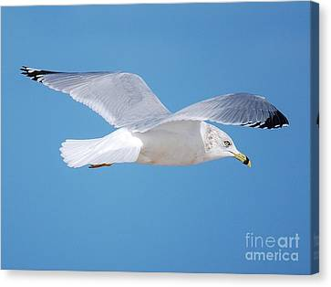 Soaring  Canvas Print by William Wyckoff