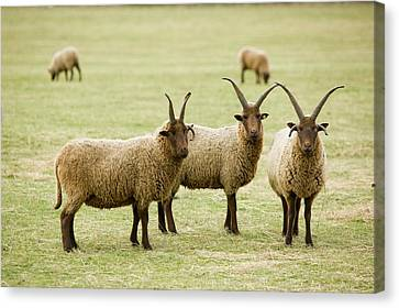 Soay Sheep In Leicestershire Uk Canvas Print by Ashley Cooper