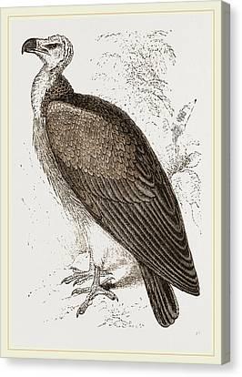Sociable Vulture Canvas Print