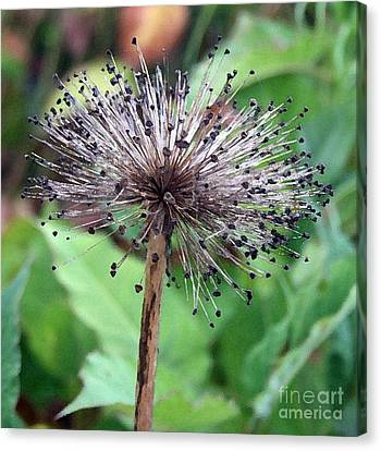 Canvas Print featuring the photograph Soft And Spikey by Alison Caltrider