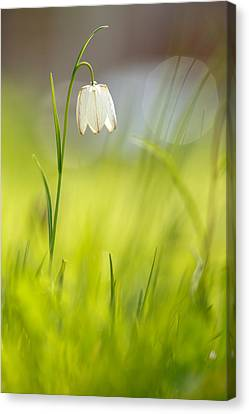 Soft Awakenings - White Chess Flower Canvas Print by Roeselien Raimond