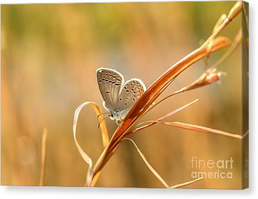 Soft Baby Blue Canvas Print by Debbie Green