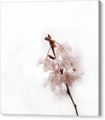 Soft Cherry Plum Canvas Print by Anne Gilbert