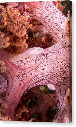 Soft Coral Goby, Indonesia Canvas Print
