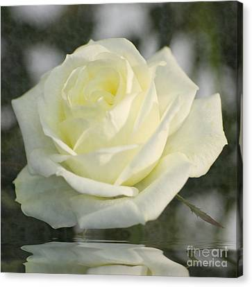 Soft Cream Rose Canvas Print