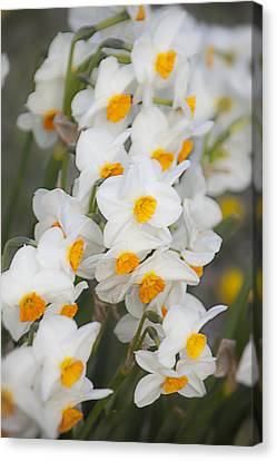 Soft Daffodils Canvas Print
