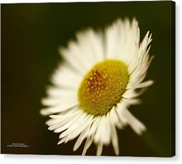 Soft Lighted Daisy Canvas Print by Alexandra  Rampolla