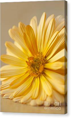 Close Focus Floral Canvas Print - Soft Marigold by Anne Gilbert