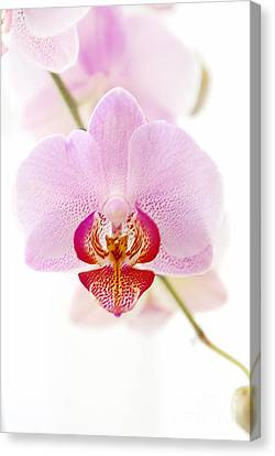 Soft Orchid Canvas Print by Hannes Cmarits