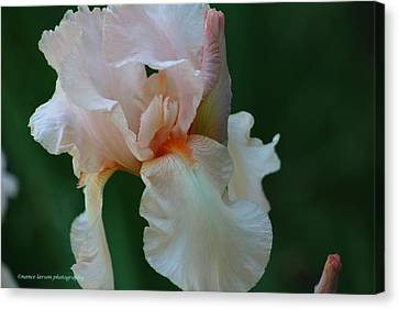 Soft Peach Iris Canvas Print