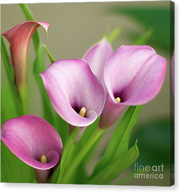 Canvas Print featuring the photograph Soft Pink Calla Lilies by Byron Varvarigos
