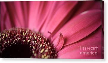 Soft Pink Gerbera Blossom Canvas Print by Hannes Cmarits
