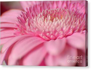 Soft Pink Gerbera Daisy Canvas Print by Eden Baed