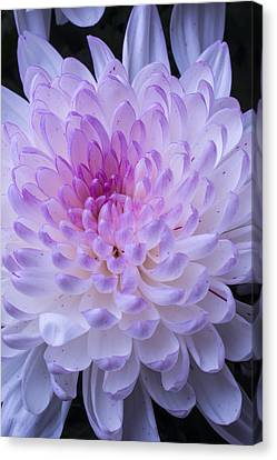 Soft Pink Mum Canvas Print by Garry Gay