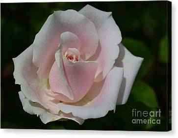 Canvas Print featuring the photograph Soft Pink Rose by Jeannie Rhode