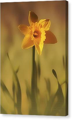 Soft Spring Daffodil Canvas Print by Anne Macdonald