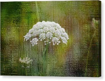 Soft Summer Rain And Queen Annes Lace Canvas Print by Suzanne Powers