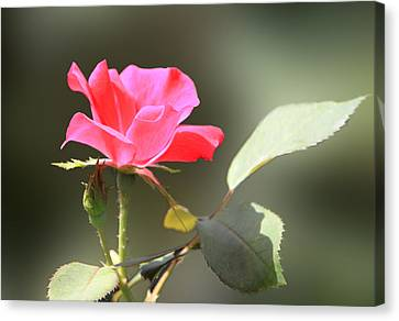 Soft Tender Old Fashioned Rose Canvas Print by Linda Phelps