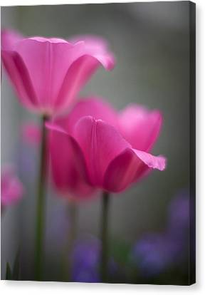 Soft Tulip Twilight Canvas Print by Mike Reid