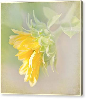 Canvas Print featuring the photograph Soft Yellow Sunflower Just Starting To Bloom by Patti Deters