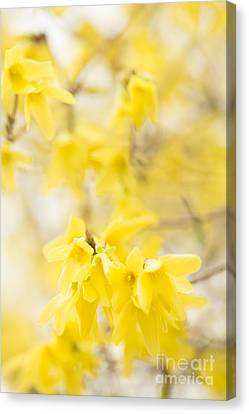 Close Focus Floral Canvas Print - Softly Yellow by Anne Gilbert