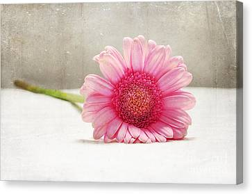 Softness In Pink Canvas Print