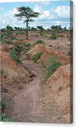 Soil Erosion Due To Water Runoff. Canvas Print by Tony Camacho