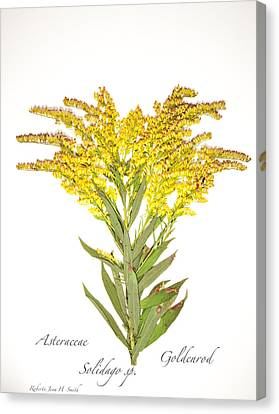 Solidago 2 Canvas Print