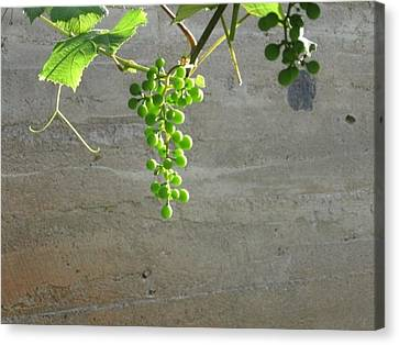 Solitary Grapes Canvas Print