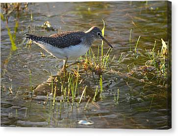 Solitary Sandpiper 2 Canvas Print by James Petersen