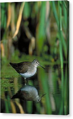 Solitary Sandpiper Canvas Print by Paul J. Fusco