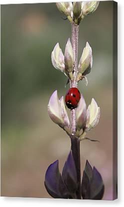 Solo Ladybug Canvas Print by Ashley Balkan