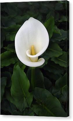 Solo White Lily Canvas Print