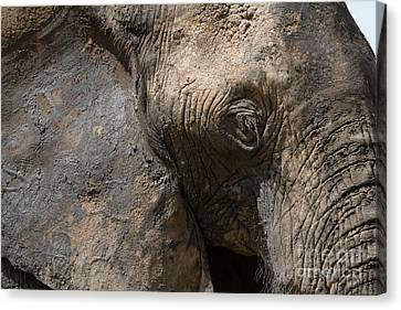Canvas Print featuring the photograph Some Elephants Prefer Mud by Chris Scroggins