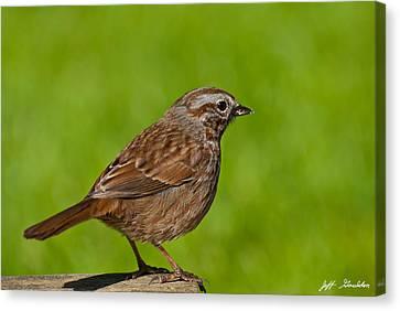 Song Sparrow On A Log Canvas Print