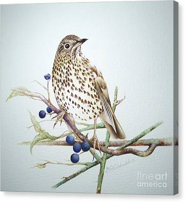Song Thrush / Sold Canvas Print