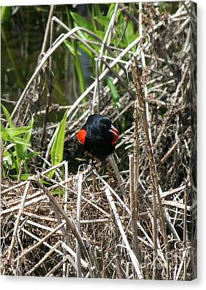 Song Of The Red Winged Blackbird  Canvas Print by Neal Eslinger
