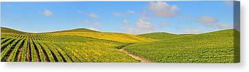Sonoma County Vineyard Panorama Canvas Print