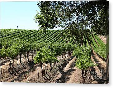 Sonoma Vineyards In The Sonoma California Wine Country 5d24594 Canvas Print by Wingsdomain Art and Photography