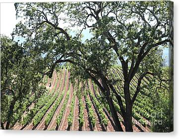 Sonoma Vineyards In The Sonoma California Wine Country 5d24619 Canvas Print by Wingsdomain Art and Photography