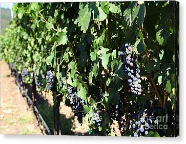 Sonoma Vineyards In The Sonoma California Wine Country 5d24627 Canvas Print by Wingsdomain Art and Photography