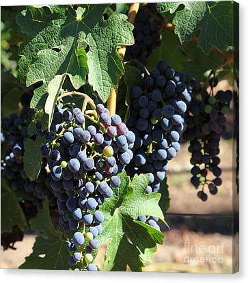 Sonoma Vineyards In The Sonoma California Wine Country 5d24630 Square Canvas Print by Wingsdomain Art and Photography