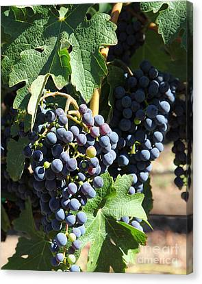 Sonoma Vineyards In The Sonoma California Wine Country 5d24630 Vertical Canvas Print by Wingsdomain Art and Photography