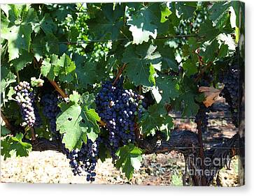 Sonoma Vineyards In The Sonoma California Wine Country 5d24631 Canvas Print by Wingsdomain Art and Photography