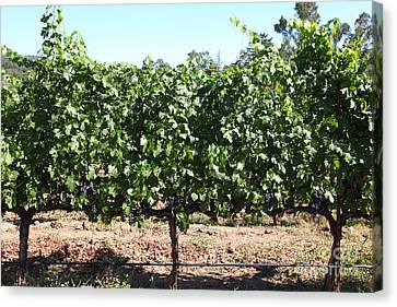 Sonoma Vineyards In The Sonoma California Wine Country 5d24636 Canvas Print by Wingsdomain Art and Photography