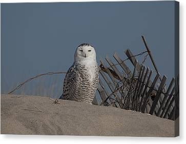 Snowy Owl Canvas Print by Steve Gravano